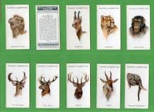 Collectible  cigarette cards set  Wild Animals Heads 1931 , Badger,  Elephant ,ect